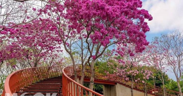 洋紅風鈴木綻放好美!粉紅花海冬日必賞--MOOK景點家