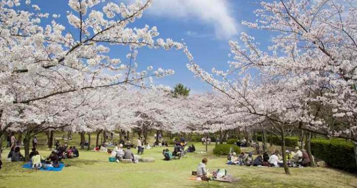 日本新潟|日本北陸「新潟」賞櫻景點 10 選:城堡、公園、櫻花,日夜皆美!| 時刻旅行